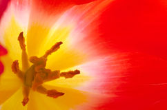 Inside tulip flower Stock Photography