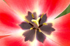 Inside a Tulip Flower Stock Photos