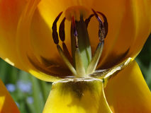 Inside of Tulip Flower Stock Photos