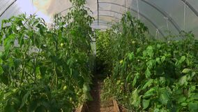 Inside of urban green house. Growing organic vegetables - tomato, peppers. Urban farming