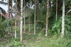 Inside View of Areca Palm Plantation Royalty Free Stock Images