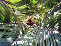 Inside view - Sago Palm. Inside view of Sago Palm Tree Royalty Free Stock Photos