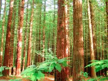 Redwood trees forest. Inside view of a tree trunks and foliage of a Redwood tree forest royalty free stock photography