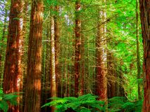 Redwood trees forest. Inside view of a tree trunks and foliage of a Redwood tree forest stock photos