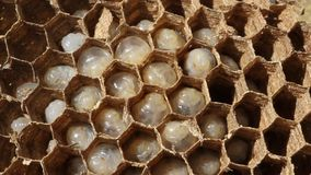 Inside a wasp nest showing hexagonal structure and eggs. stock video