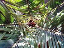 Inside widok - Sago palma Zdjęcia Royalty Free