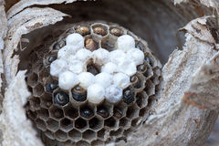 Inside of a Yellow Jacket Wasp Nest Macro Royalty Free Stock Photos