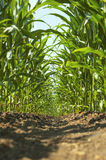 Inside a young corn field. Stock Image