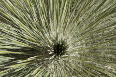 The inside of a yucca plant Stock Photos