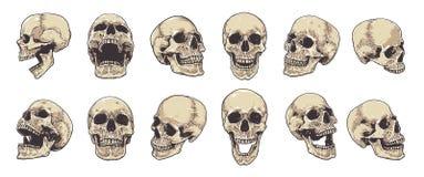 Insieme anatomico di vettore dei crani illustrazione di stock