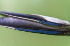 insieme Azzurro-alato della gazza della macro della piuma Immagine Stock