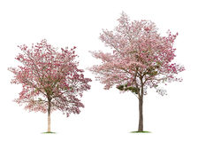 Insieme degli alberi isolati di rosea di Tabebuia su fondo bianco Fotografia Stock