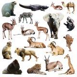 Insieme degli animali africani Isolato su bianco Fotografia Stock Libera da Diritti