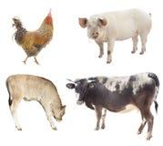 Insieme degli animali da allevamento pollo, maiale, mucca Fotografia Stock