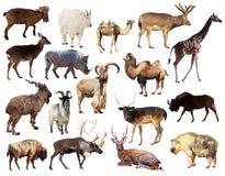 Insieme degli animali del mammifero del Artiodactyla sopra fondo bianco Fotografie Stock Libere da Diritti
