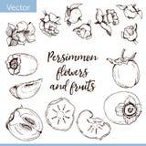Insieme degli elementi di vettore Fiori e frutti del cachi royalty illustrazione gratis