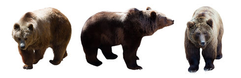 Insieme degli orsi bruni Immagini Stock