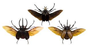 Insieme degli scarabei rinoceronti di volo isolati su bianco Immagini Stock