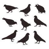 Insieme degli uccelli di posa di una colomba Fotografia Stock