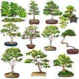 Insieme dei bonsai isolato su bianco Immagini Stock