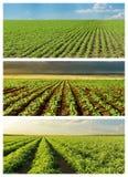 Insieme dei campi verdi di agricoltura Immagine Stock Libera da Diritti