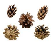 Insieme dei coni del pino Immagine Stock