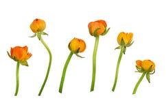 Insieme dei fiori arancio del ranunculus Fotografie Stock Libere da Diritti