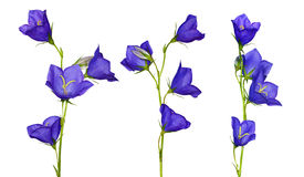 Insieme dei fiori blu del campanula Fotografia Stock