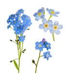 Insieme dei fiori blu del nontiscordardime isolati su bianco Immagine Stock