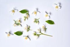 Insieme dei fiori del gelsomino su fondo bianco Fotografie Stock