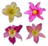 Insieme dei fiori del giorno-giglio Fotografia Stock Libera da Diritti