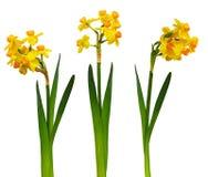Insieme dei fiori del narciso Fotografie Stock Libere da Diritti