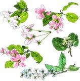 Insieme dei fiori dell'albero della molla Fotografia Stock