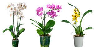 Insieme dei fiori dell'orchidea in vaso isolato Fotografie Stock Libere da Diritti