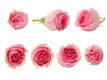 Insieme dei fiori della rosa di rosa Immagini Stock