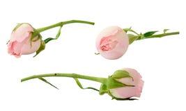 Insieme dei fiori della rosa di rosa Fotografia Stock Libera da Diritti
