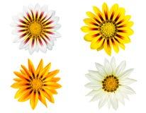 Insieme dei fiori di gazania isolati su fondo bianco Fotografia Stock Libera da Diritti