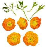 Insieme dei fiori e delle foglie arancio del ranunculus Fotografie Stock Libere da Diritti
