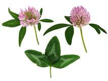 Insieme dei fiori e delle foglie del trifoglio Fotografia Stock Libera da Diritti