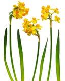 Insieme dei fiori e delle foglie mazzo-fioriti del narciso Immagini Stock