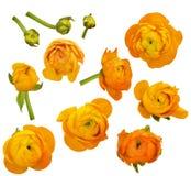 Insieme dei fiori e dei germogli arancio del ranunculus Immagine Stock Libera da Diritti