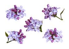 Insieme dei fiori e dei germogli lilla Fotografia Stock