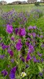 Insieme dei fiori porpora, in primavera Sul campo delle margherite e delle erbe verdi fotografie stock libere da diritti