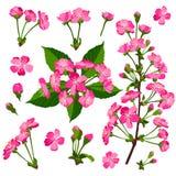 Insieme dei fiori rosa del ciliegio Fotografie Stock