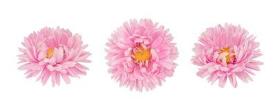 Insieme dei fiori rosa dell'aster isolati su un bianco Fotografia Stock Libera da Diritti