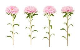 Insieme dei fiori rosa dell'aster isolati su un bianco Fotografie Stock Libere da Diritti