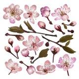 Insieme dei fiori sboccianti di rosa di sakura Fotografia Stock