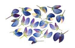 Insieme dei fiori urgenti e secchi di lupino blu isolati Immagini Stock Libere da Diritti