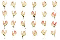 Insieme dei fiori urgenti e secchi di lupino rosa Immagine Stock