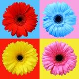 Insieme dei fiori variopinti della gerbera Fotografia Stock Libera da Diritti